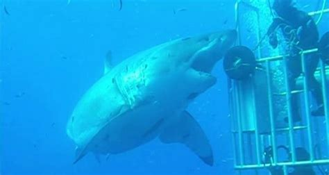 what is the largest great white shark ever recorded primer see the biggest great white shark ever filmed