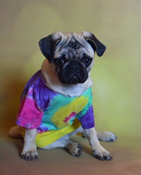 pug fashion 1231 best images about pug puppies on pug