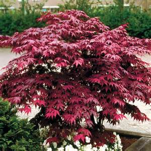 japanese maple tree pictures