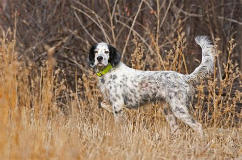 english setter working dog zenfolio phil seu photography hunting dogs english