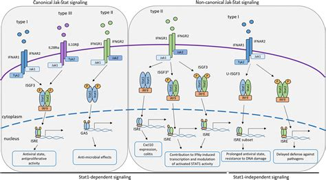 frontiers regulation of interferon gamma frontiers canonical and non canonical aspects of jak