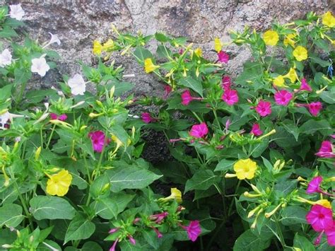 di notte fiore di notte piante perenni coltivare di notte
