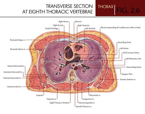 transverse section of lungs transverse section at the eighth thoracic vertebra by