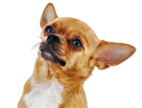 pug chiwawa mix chihuahua pug mix a look at this combination practical paw the
