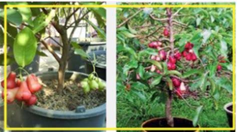 Bibit Jambu Air Dalam Pot teknik menanam jambu air dalam pot manis tanaman bunga hias