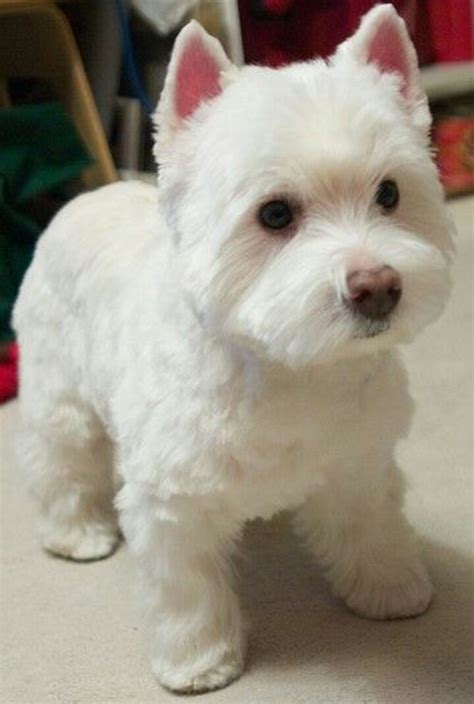 west highland terrier haircuts what a beautiful hair cut and a cute westie westies