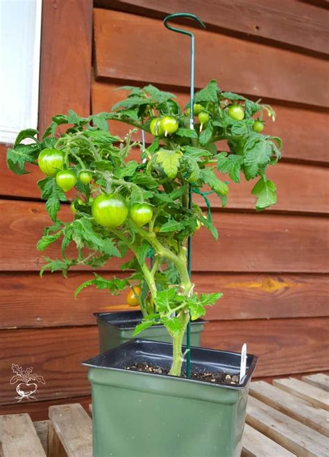 tips  grow delicious tomatoes  containers