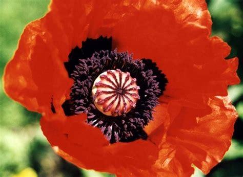 fiore oppio papavero da oppio piante da giardino coltivare papavero