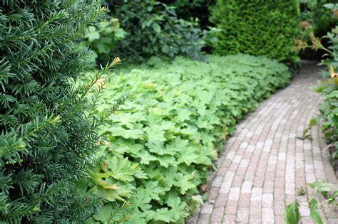 blattpflanzen garten bodendecker f 252 r die verschiedensten situationen pflanzen
