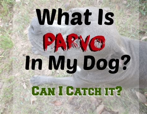 can humans get parvo from dogs what is parvo in my can i catch it the farmer s l