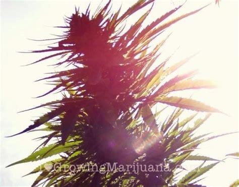 how much light does a lemon tree need how much sunlight do outdoor marijuana plants need