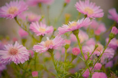 fiore astro immagini fiori rosa natura sfondo fiore astro