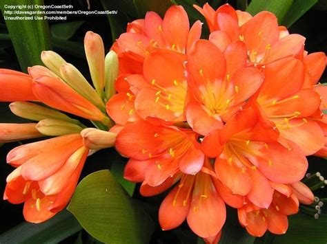 clivea miniata an easy care flowering houseplant hubpages plantfiles pictures bush lily clivia lily st john s