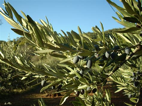olive tree wallpaper olive tree by la puce on deviantart