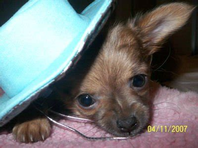 chihuahua puppies for sale in virginia chihuahua puppies and dogs for sale and adoption in virginia breeds picture