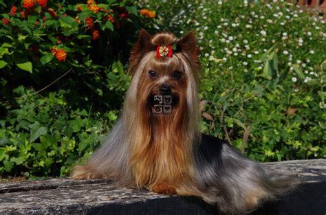 perro piso peque o comprar perros y cachorros perros en venta corralet