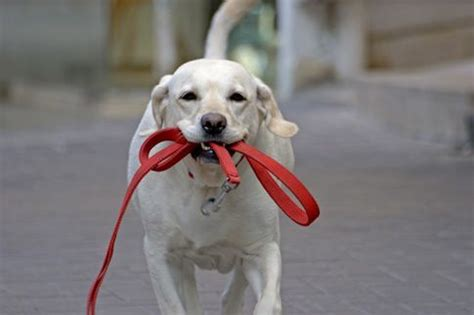 when can a puppy go outside for walks pet sitting arizona s heidi s historic home pet care doggie daycare