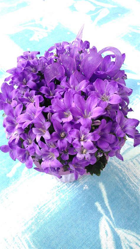 viola fiore immagini pianta fiori viola fiori idea immagine
