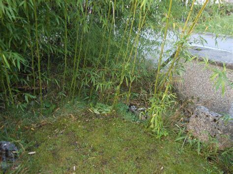 bambus rhizome vernichten bambus vernichten bambus im garten vernichten bambus