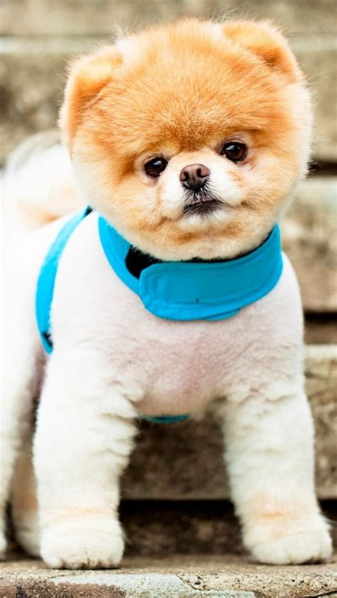 pomeranian puppies wallpaper 34 puppy chrome themes desktop wallpapers more for brand thunder