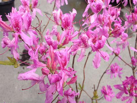 azalea caduque lilac lights p 233 pini 232 re cramer inc