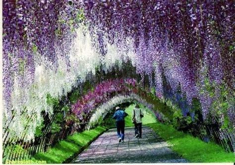 wisteria flower tunnel japan wisteria flower tunnel japan sharesloth