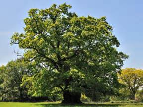 hundreds of previously undiscovered ancient oak trees