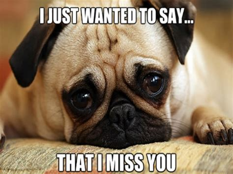 pugs with captions pug pictures with captions breeds picture