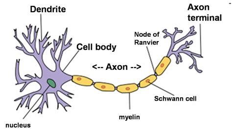 diagram of neurone neuroanatomy nerves neurons axons and dendrites by