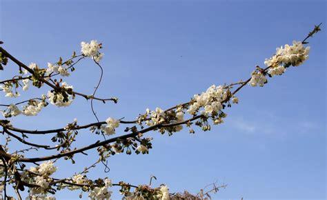 bollettino meteo co dei fiori arezzo meteo il ciliegio e la primavera