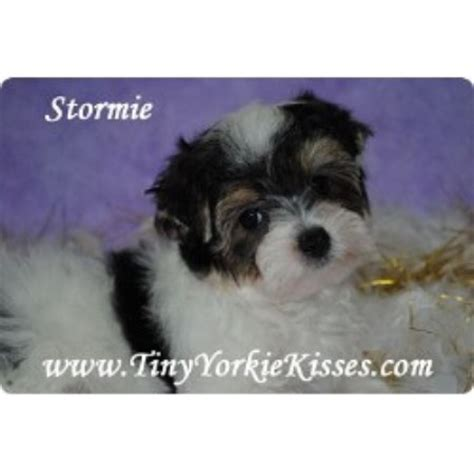 yorkie california tiny teacup and size yorkie puppies for sale in california 707 720 breeds