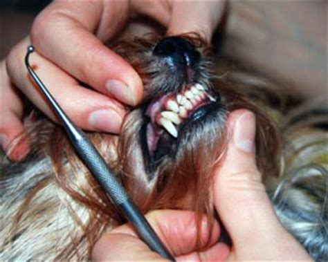 yorkie problems special methods for terrier teeth care