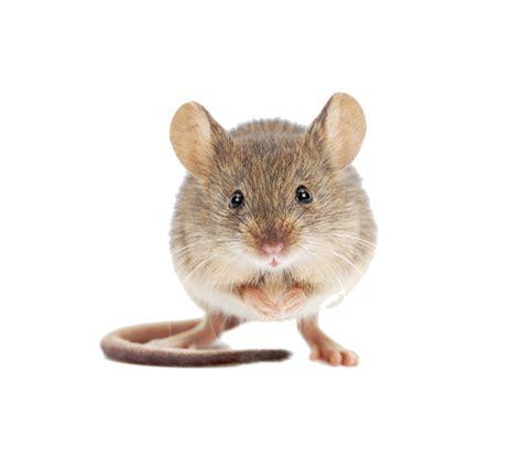 huis muis muizen zungo nl