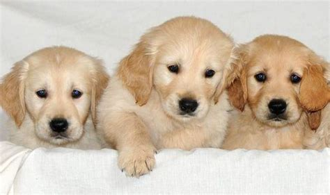 are dogs guide puppies from the national centre nature news express co uk