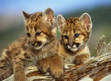 what do you call a baby jaguar 10 interesting mountain facts my interesting facts