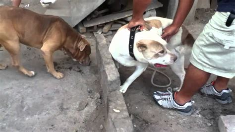 imagenes originales de animales cruze de perros pitbull original youtube