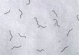 Exploring the mystery of glacier ice worms articles summitpost