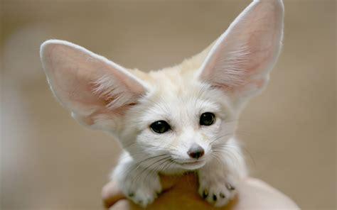 puppies with big ears big ears wallpapers big ears myspace backgrounds big ears backgrounds