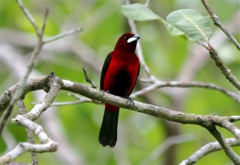 male tanager in panama avise s birds of the world