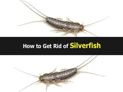 how do i get rid of silverfish in my bathroom how to get rid of silverfish dark brown hairs
