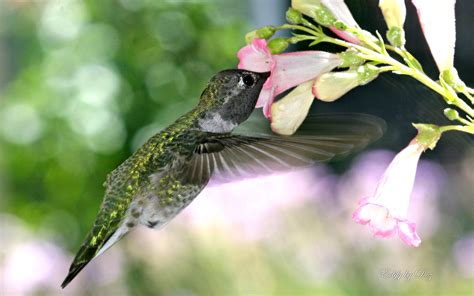 hungry hummingbird wallpapers hd wallpapers id 11816