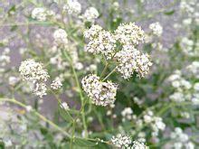 himalayan salt l wiki lepidium latifolium la enciclopedia libre