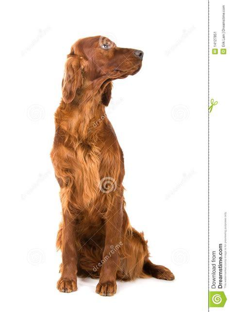 irish setter dog time irish setter dog stock image image 14127851