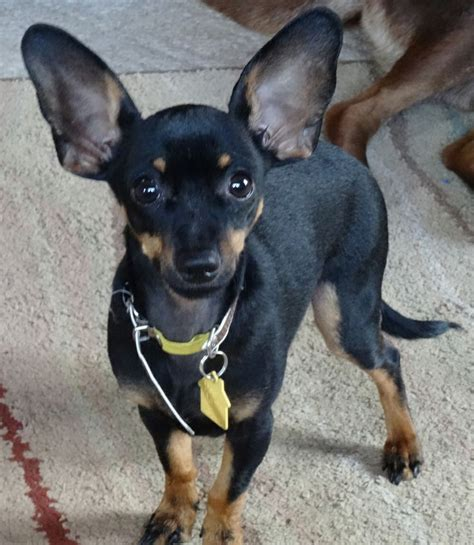 dogs with big ears big ears chiwinnie chiwinnie s