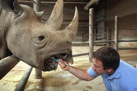 Zoo Zoo Brush Black 28 year black rhino named kulinda dies at columbus zoo