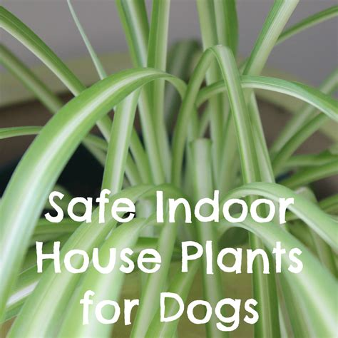 safe house plants for dogs non toxic indoor house plants for dogs