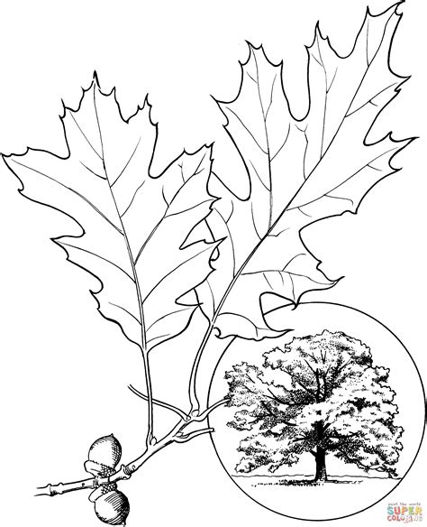 coloring pages oak leaf northern red oak or chion oak coloring page free
