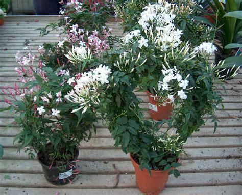 gelsomino officinale in vaso piante da vaso jasminum gelsomino jasminum azoricum