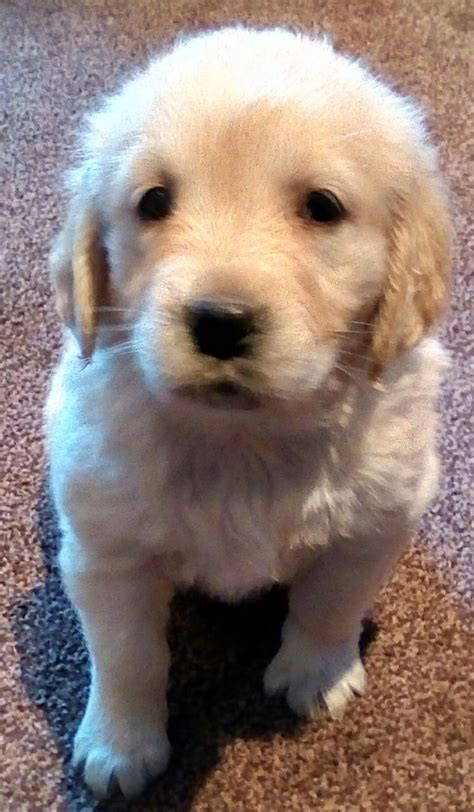 golden retriever puppies for sale in gloucestershire golden retriever puppies 2 remaining coleford gloucestershire pets4homes