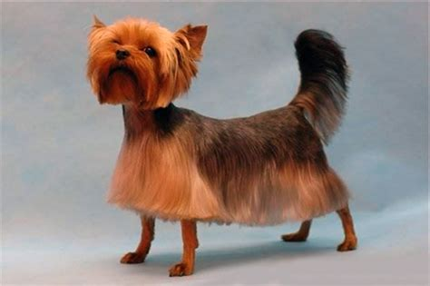 different hair cuts for yorkies making yorkie hair cuts a simple diy method